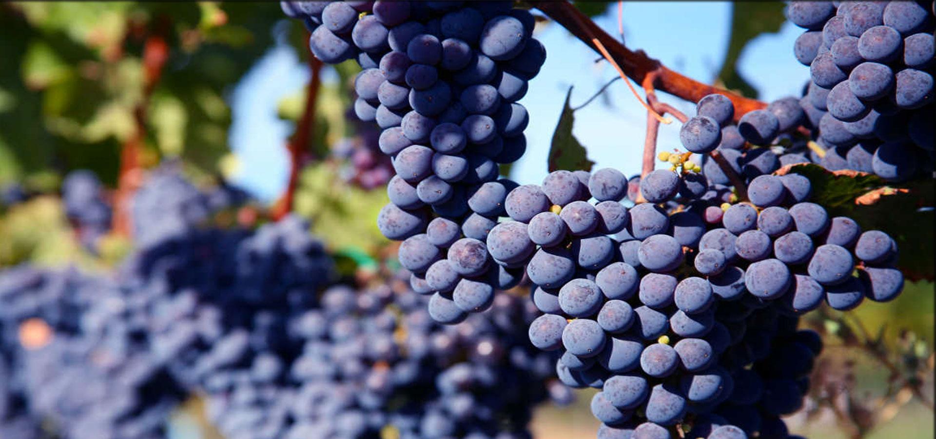 La qualità dell'uva